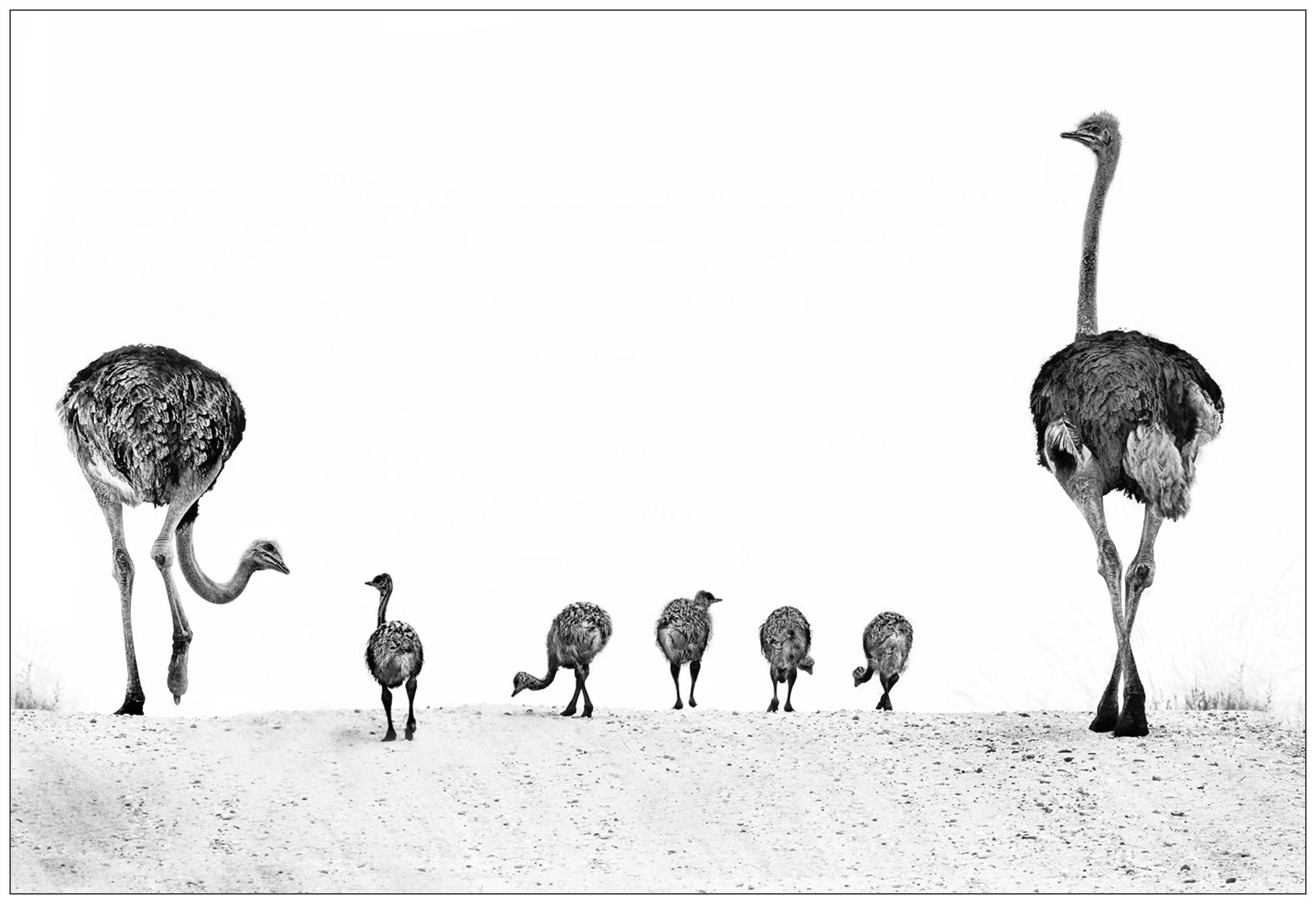 ostrich family outing2
