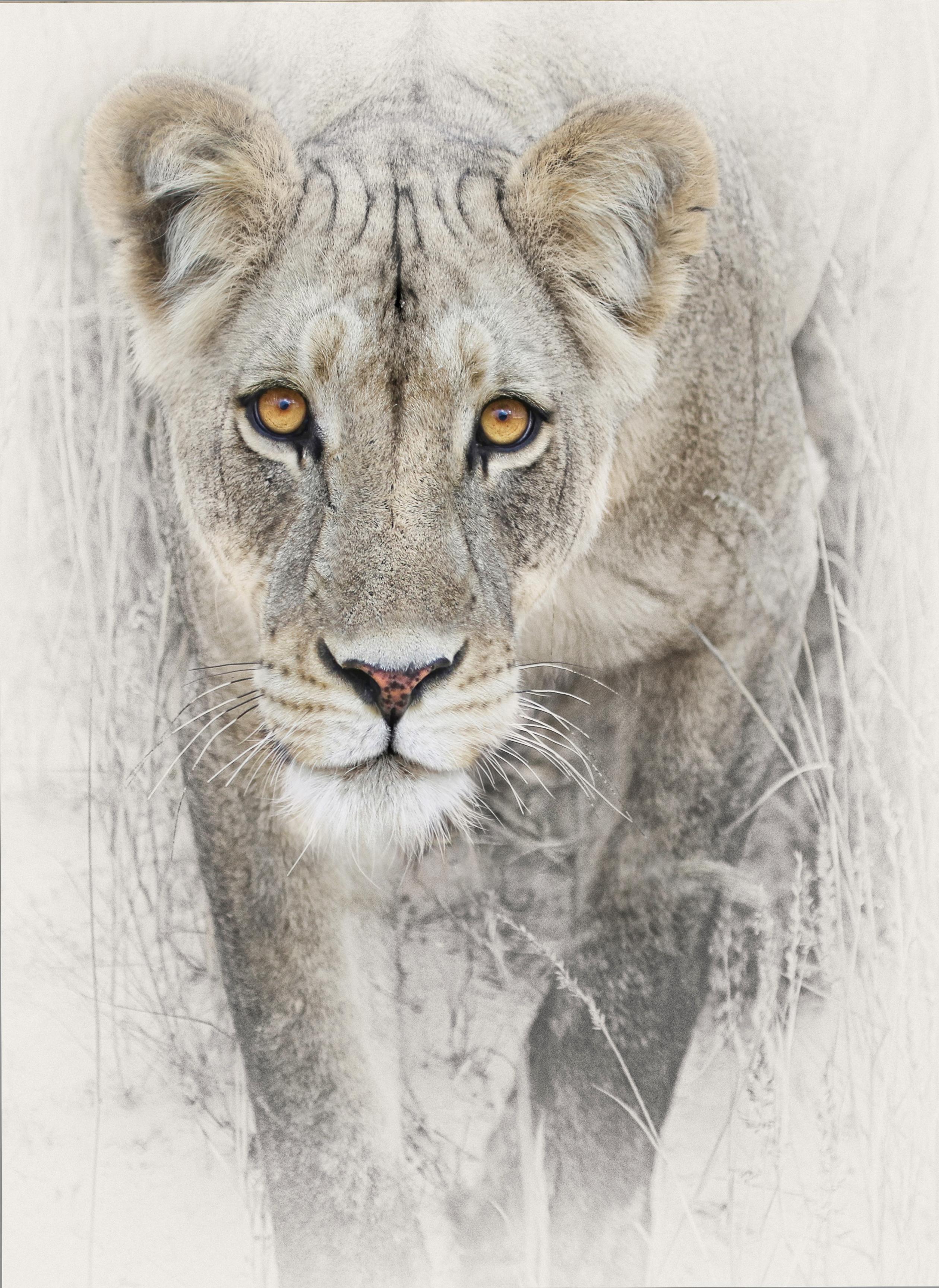 stalking lioness warming filter 81 10%