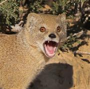 yellow mongoose.jpg