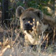 hyaena keeping an eye on camp