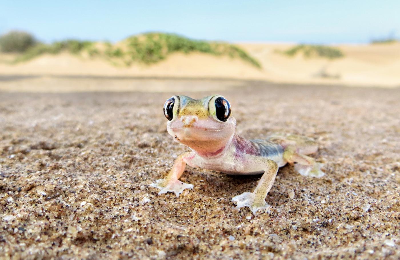 gecko in Namib desert