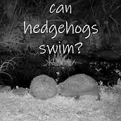 swimming hedgehog2.jpg