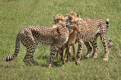 successful cheetah hunt