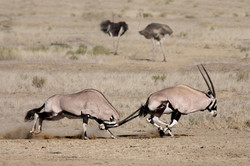 fighting gemsbok
