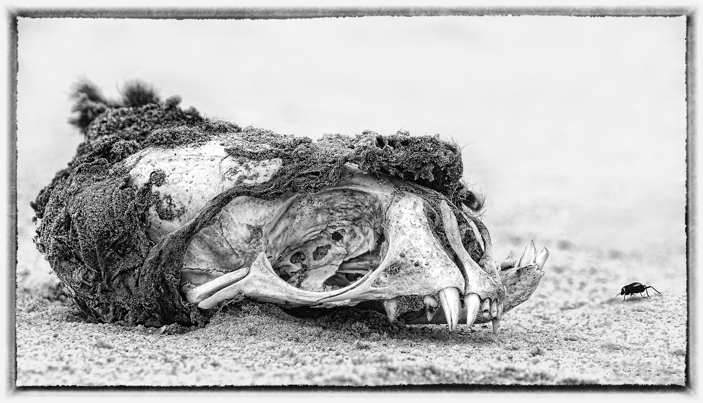 Skeleton Coast seal skull