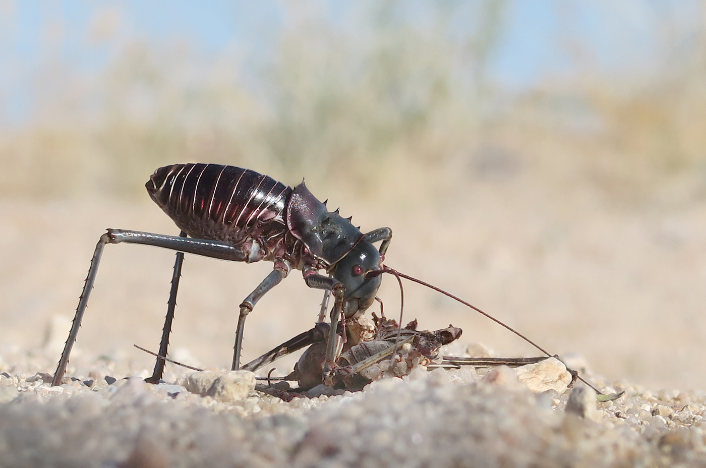 ground cricket with cricket prey