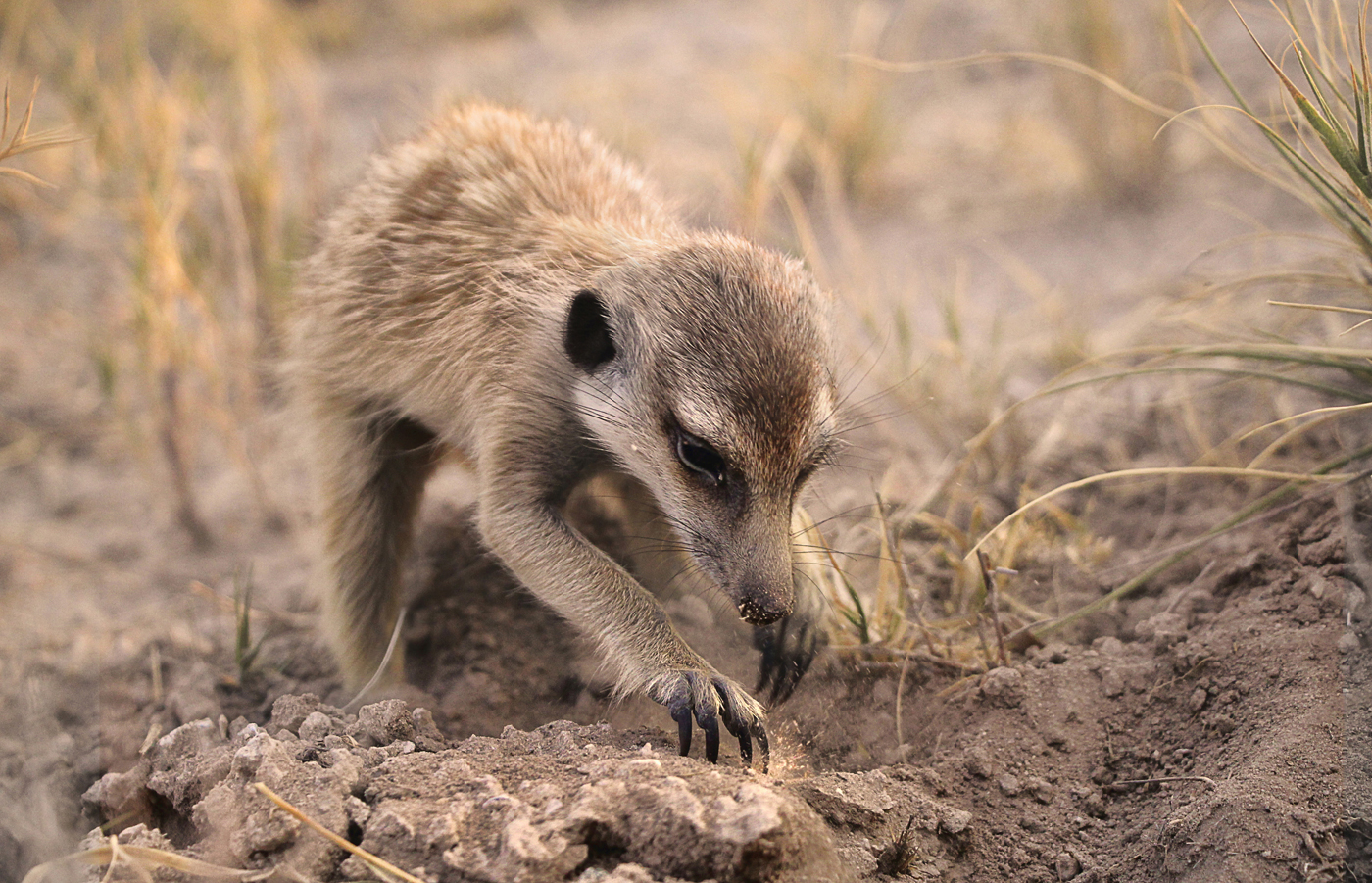 young meerkat foraging