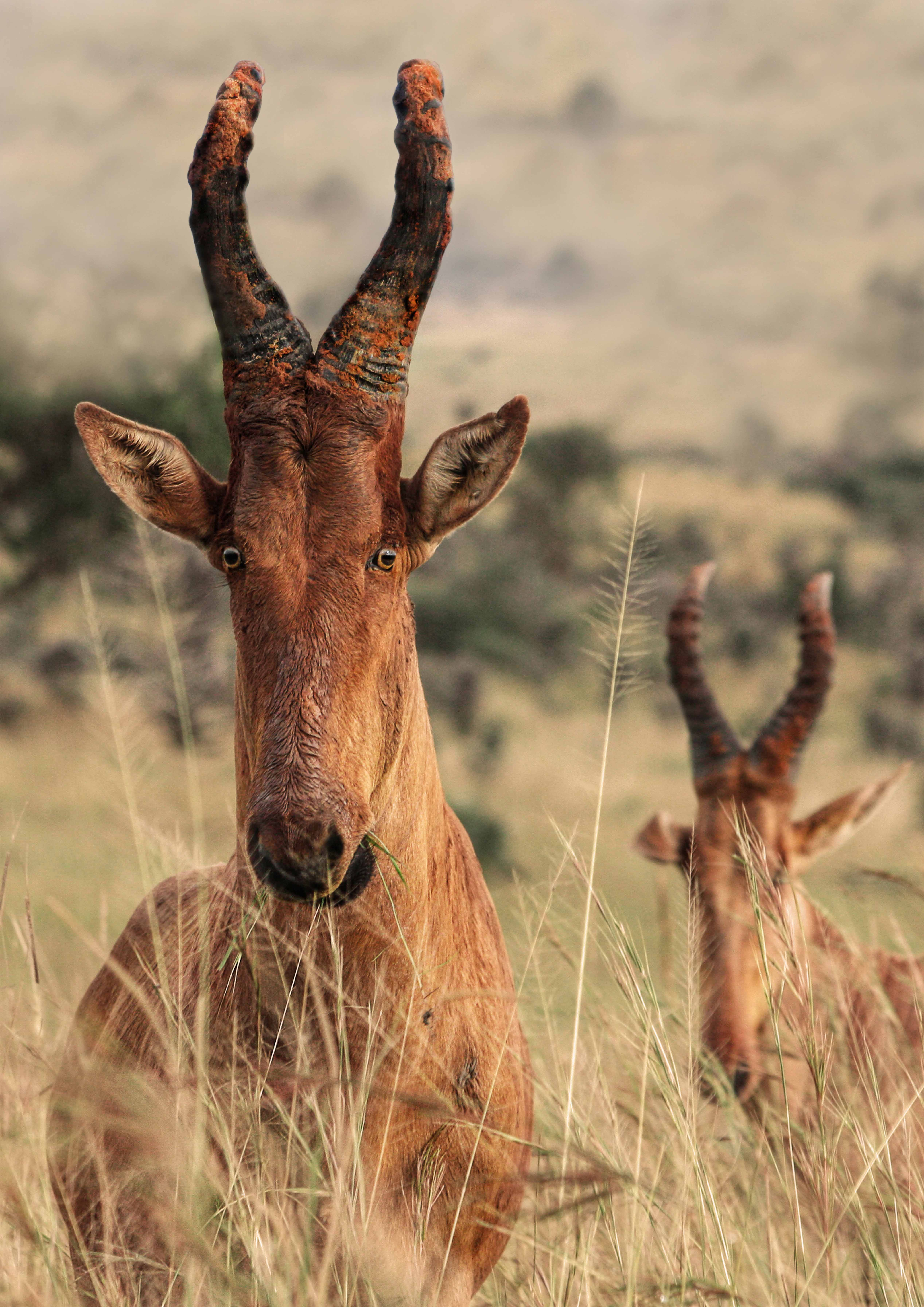 6 Ugandan Hartebeest