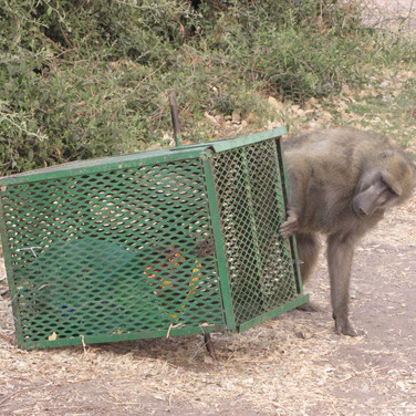 baboon in camp