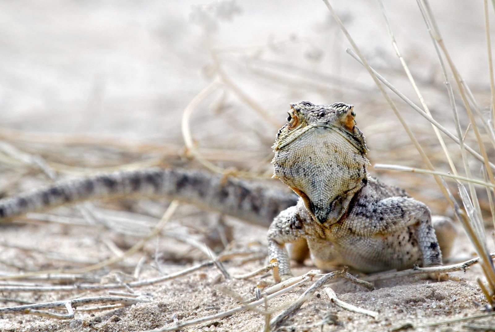agama lizard, Botswana