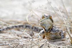 sand lizard, Botswana