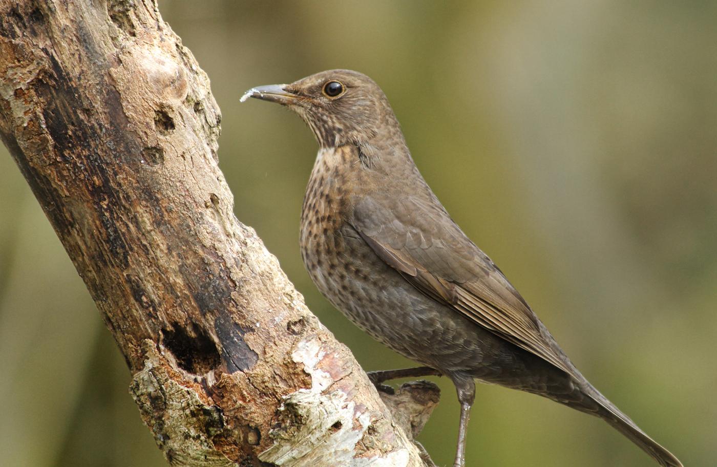 juvrnile blackbird