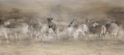 zebra dreamtime