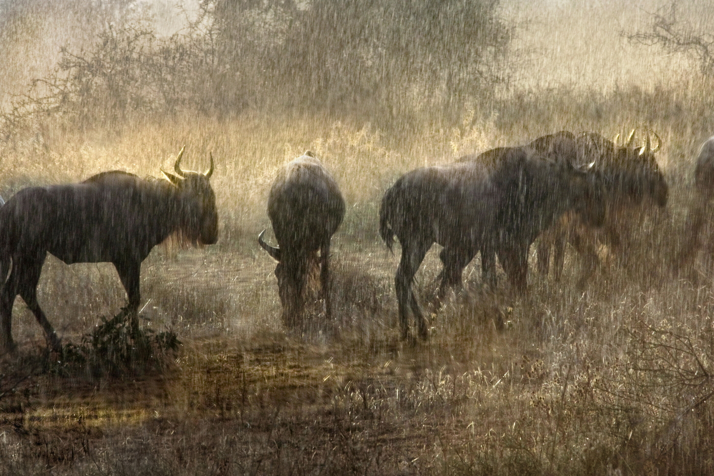 wildebeest in sunset shower
