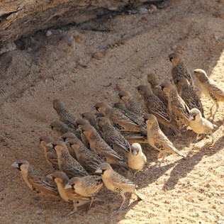 weavers mobbing viper