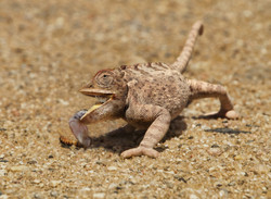 5 desert chameleon