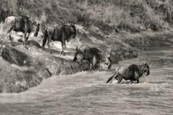 wildebeest crossing river