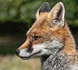 grumpy fox