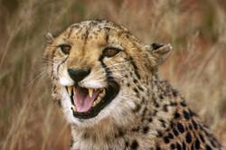 cheetah Namibia