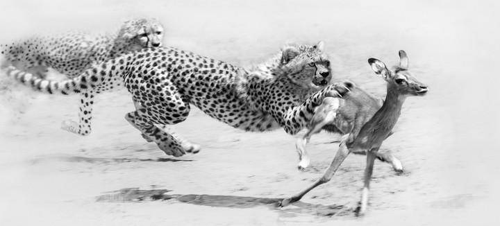 cheetah chase