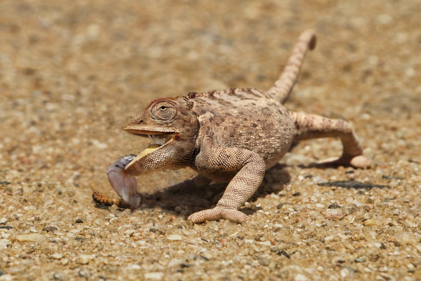 desert chameleon
