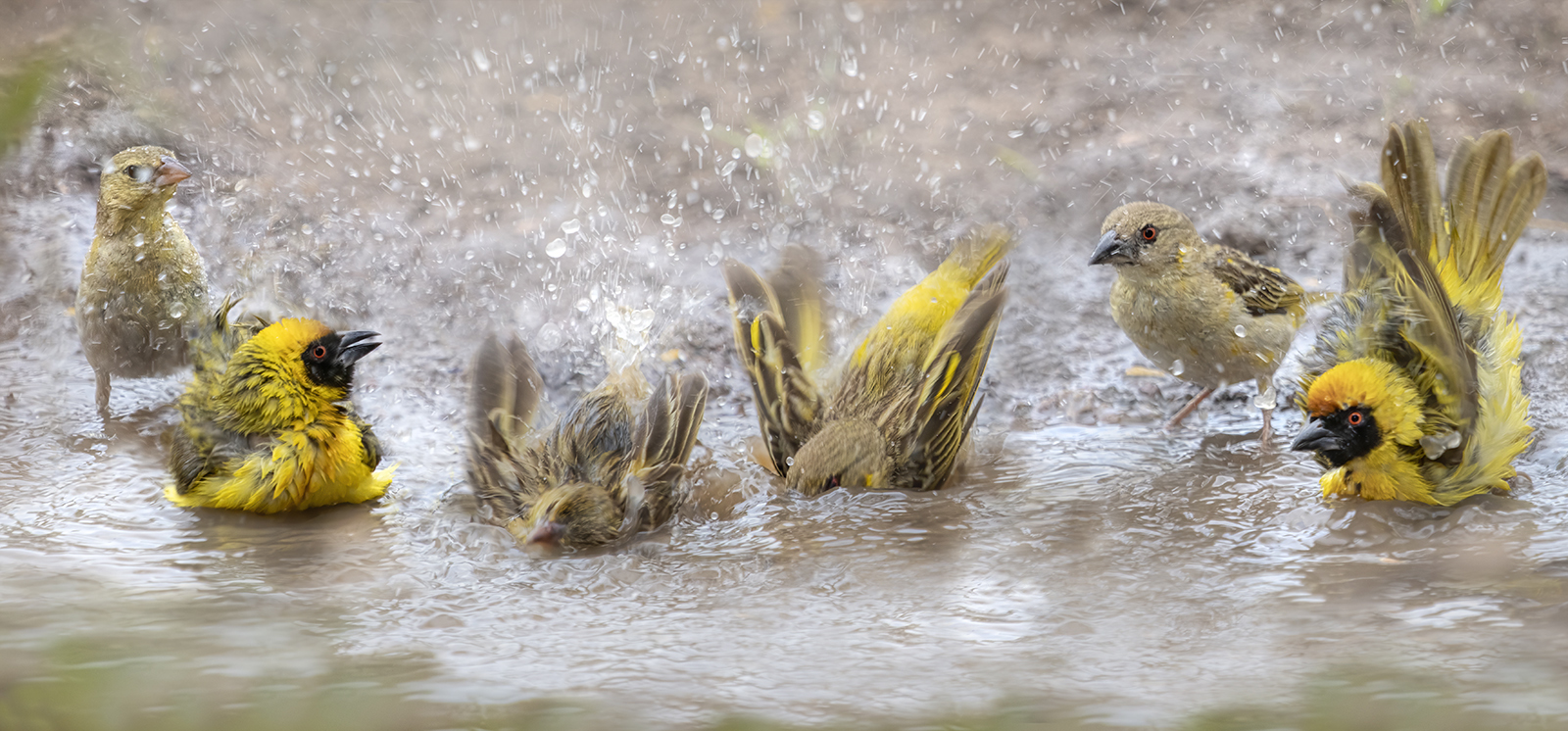 weaver birds bathing