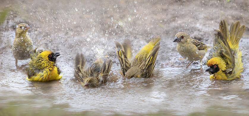 weaver birds bathing.jpg