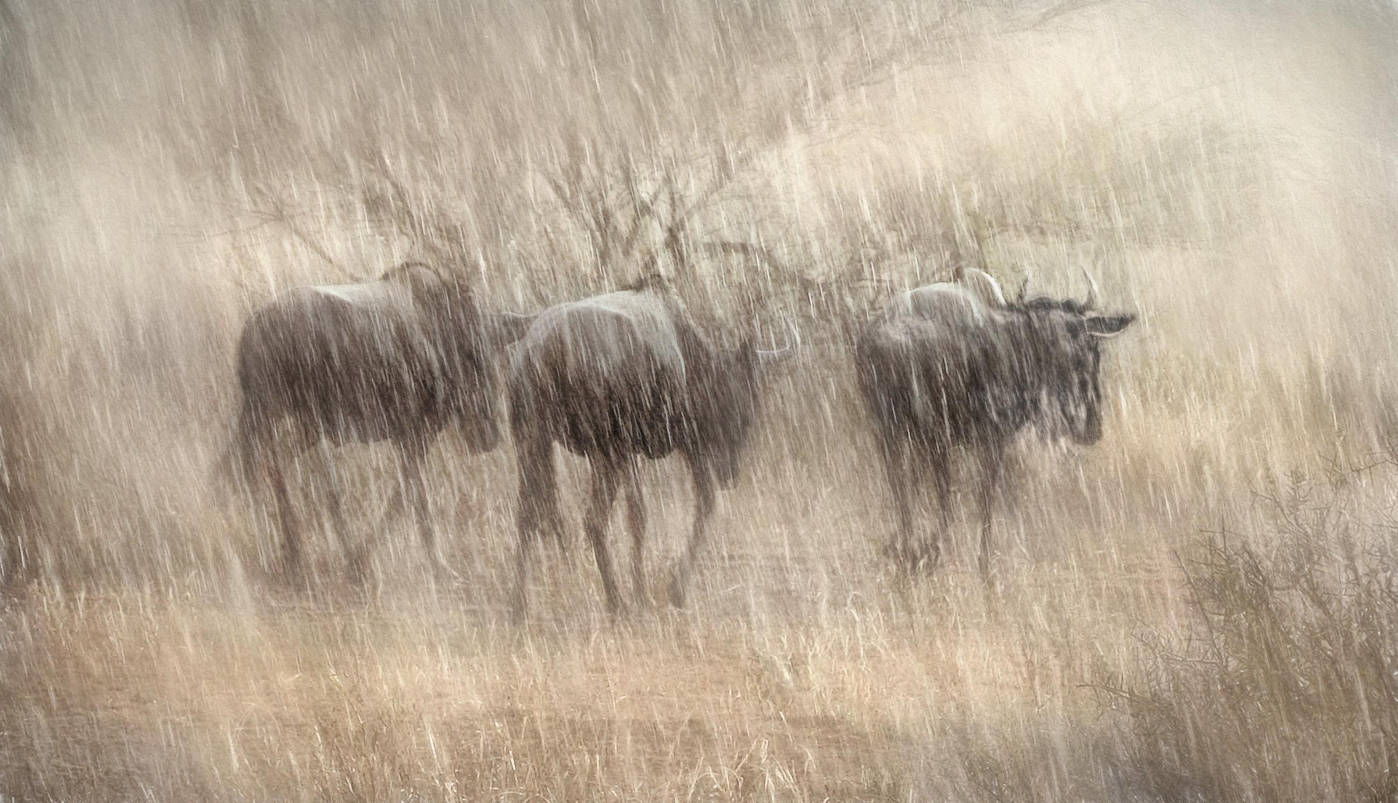 wildebeest in rain