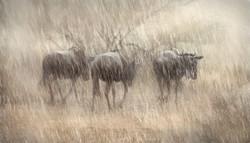wildebeest in rain