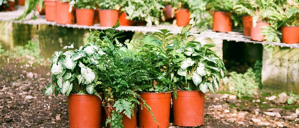 שחרורית חליטת צמחים 50 גרם