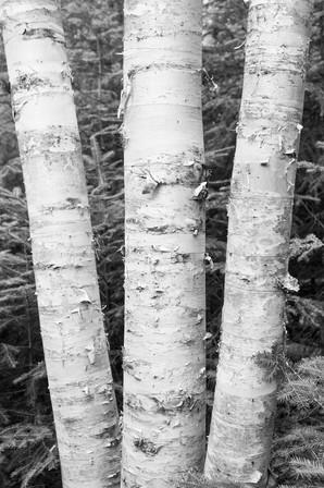 Paper Birch in Vermont