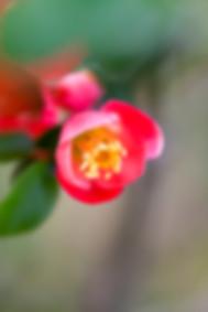 Springtime budding pink flower