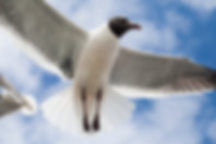 Seagull in flight overhad at the beach with blue sky