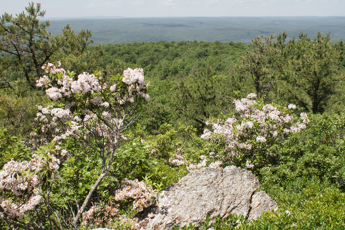 Mountain Laurel in Bloom in New Jersey