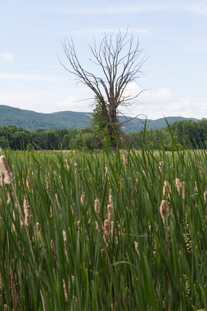 A Field of Reeds in New York