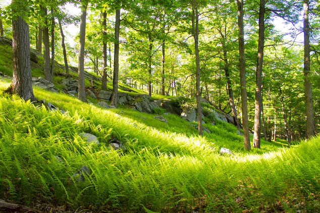 Ferns in New York State