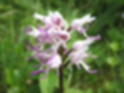 Monkey Orchid - Chilterns
