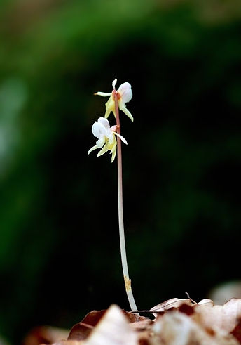 Ghost Orchid - © Oscar Stahle