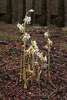 Ghost Orchid - © Colin Scrutton
