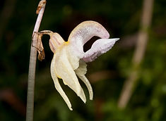 Ghost Orchid - © Jakob Barfuss