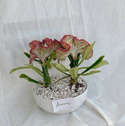Crested Euphorbia 2 with Ceramic
