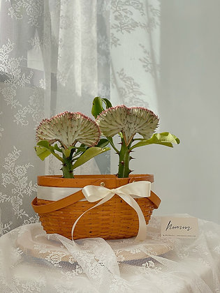Duo Crested Euphorbia with basket