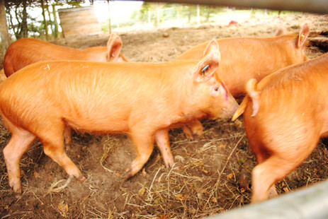 Ginger pigs