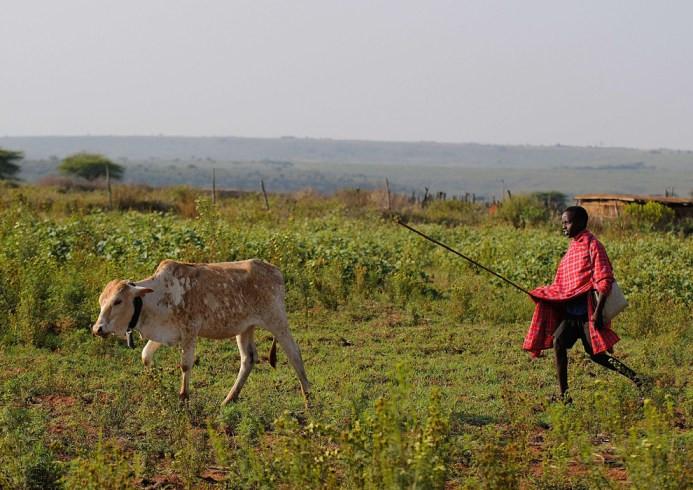 Ο 12χρονος Kelvin Leadismo, με τη σχολική του τσάντα στον ώμο, βόσκει το μοσχάρι το οποίο θα σφαχτεί για να πληρωθούν τα δίδακτρα – Kisima ένας δήμος της Βόρειας Κένυας