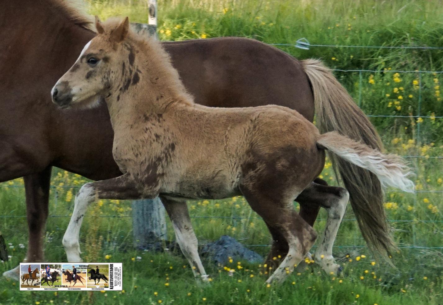Male foal Thór-Steinn Björt