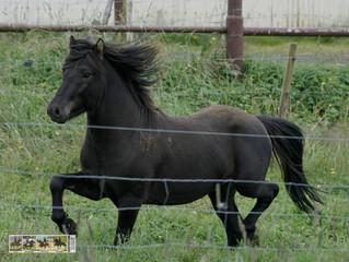 Horses from Kjartansstadir. Hross frá Kjartansstöðum