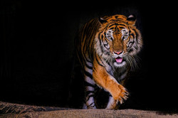 portrait-tigre-tigre-du-bengale-thailand