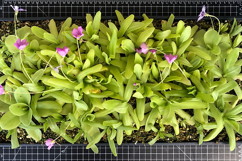 Large Pinguicula 4""