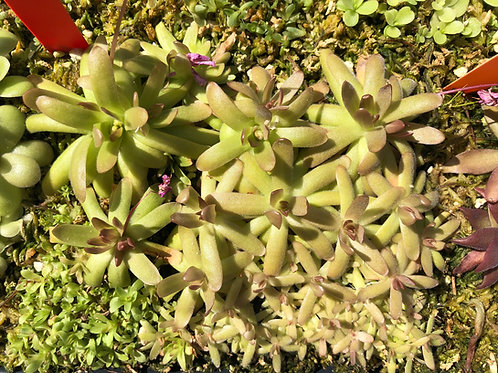 Pinguicula gracilis x moctezumae