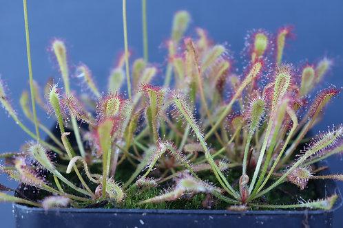 Drosera nidiformis Seeds